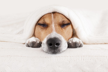 sleeping dog in bed