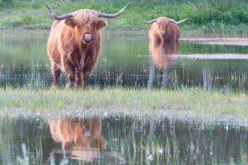 Highland cattle standing in a lake