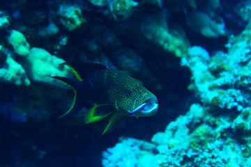 grouper underwater photo