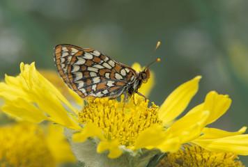 USA, Colorado, Mt. Evans. Anicia Checkerspot (Euphydryas anicia)