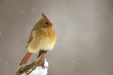 Female northern Cardinal on snow covered branch.