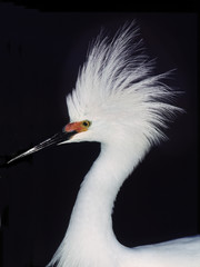 Snowy Egret in breeding plumage at the Ding Darling National Wildlife Refuge on Sanibel Island, Florida.