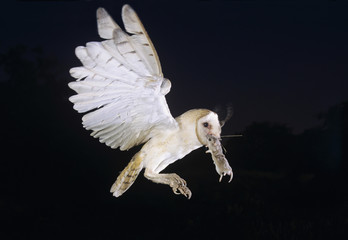 Barn Owl, Tyto alba,adult in flight with mouse, Willacy County, Rio Grande Valley, Texas, USA, March