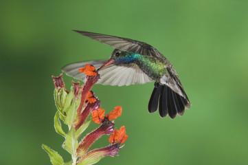 Broad-billed Hummingbird, Cynanthus latirostris, male in flight feeding on Flower,Tucson, Arizona, USA, September