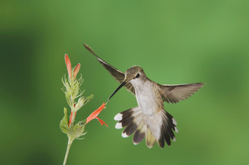Black-chinned Hummingbird, Archilochus alexandri, female feeding on Sage Flower,Tucson, Arizona, USA, September