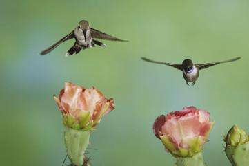 Black-chinned Hummingbird, Archilochus alexandri, male and female in flight feeding on Texas Prickly Pear Cactus (Opuntia lindheimeri), Uvalde County, Hill Country, Texas, USA, April