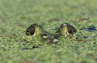 Bullfrog, Rana catesbeiana, adult in duckweed camouflaged, Welder Wildlife Refuge, Sinton, Texas, USA, May