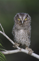 Eastern Screech-Owl, Megascops asio, Otus asio,young fledgling, Willacy County, Rio Grande Valley, Texas, USA, May