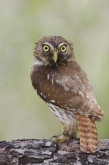 Ferruginous Pygmy-Owl, Glaucidium brasilianum, adult, Willacy County, Rio Grande Valley, Texas, USA, June