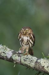 Ferruginous Pygmy-Owl, Glaucidium brasilianum, adult, Willacy County, Rio Grande Valley, Texas, USA, May