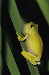 Green Treefrog, Hyla cinerea, male calling at night, Welder Wildlife Refuge, Sinton, Texas, USA, May