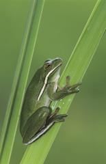 Green Treefrog, Hyla cinerea, adult, Lake Corpus Christi, Texas, USA, May