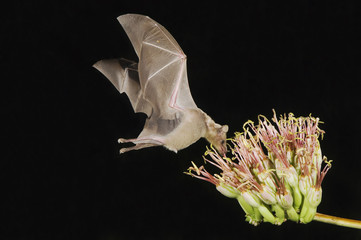 Lesser Long-nosed Bat, Leptonycteris curasoae, adult in flight at night feeding on Agave blossom (Agave spp.),Tucson, Arizona, USA, September