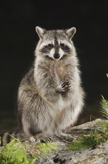 Northern Raccoon, Procyon lotor, adult at spring fed pond with fern, Uvalde County, Hill Country, Texas, USA, April