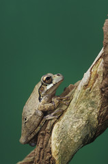 Mexican Treefrog, Smilisca baudinii, adult on Tree Bark, The Inn at Chachalaca Bend, Cameron County, Rio Grande Valley, Texas, USA, May