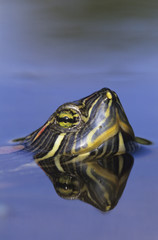 Red-eared Slider, Trachemys scripta elegans, adult swimming, Willacy County, Rio Grande Valley, Texas, USA, April