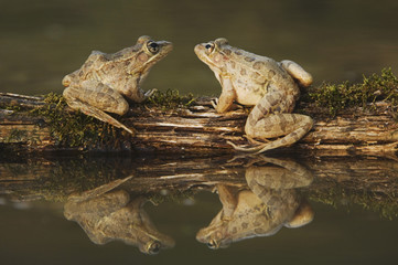 Rio Grande Leopard Frog, Rana berlandieri, two adults on log in water with reflection, Uvalde County, Hill Country, Texas, USA, April