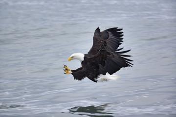 Bald Eagle catching fish, Homer, Alaska, Haliaetus leucocephalus
