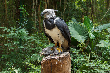 Wall Mural - Harpy Eagle eating bunny