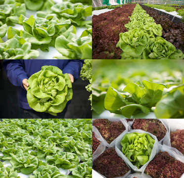 Bibb lettuce or butterhead lettuce in various views