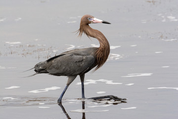 USA - Florida - Reddish Egret at Merritt Island National Wildlife Refuge