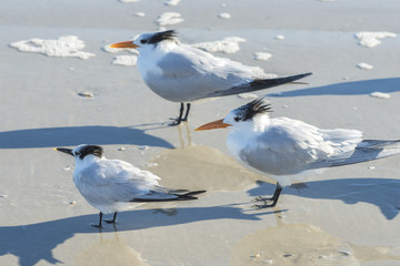 USA, Florida, New Smyrna Beach, Royal Terns on beach