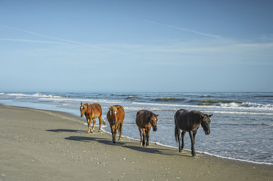 A group of wild Spanish Mustangs of Corolla walking along the beach.