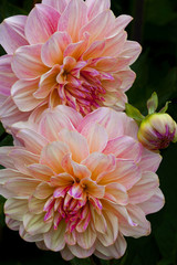 USA, Oregon, Shore Acres State Park. Close-up of dahlia flowers. Credit as: Jean Carter / Jaynes Gallery / DanitaDelimont.com