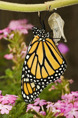 USA, Texas, Hill Country. Close-up of monarch butterfly just hatched from pupal stage cocoon.
