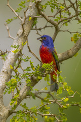 USA, Texas, Hidalgo County. Male painted bunting in thorny tree.