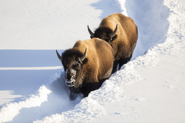 USA, Wyoming, Yellowstone National Park, Bison Cows walking down snow trail in winter.
