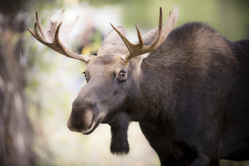 Teton National Park, Wyoming, USA.  Close-up of Bull Moose.