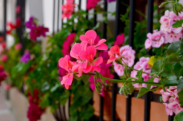 Geranium flowers in pot in front of  window.Selective focus.