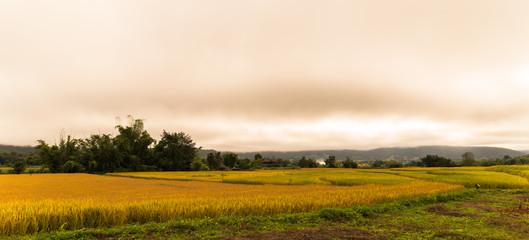 cornfield of gold