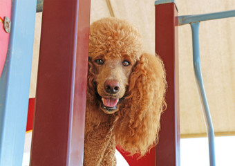 red standard poodle with happy face