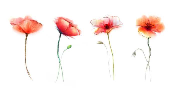 Watercolor painting poppy flower. Isolated flowers on white background. Set of Pink and red poppy flower painting. Hand painted watercolor floral, flower background.