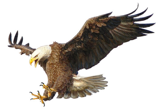 Bald eagle swoop attack head draw and paint vector illustration.