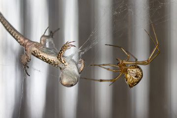The common house spider (Parasteatoda tepidariorum), with baby lizard catch.
