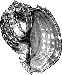 Vintage Illustration sea shell