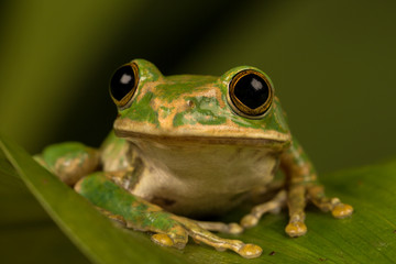 Close up of a Peacock tree frog perched on a leaf with green background.