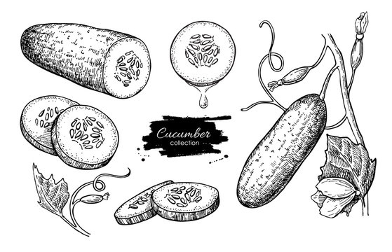 Cucumber hand drawn vector set. Isolated cucumber, sliced pieces