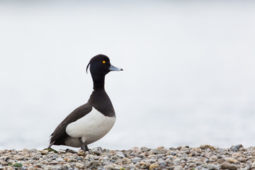 Portrait of male tufted duck (Aythya fuligula) looking funny