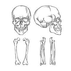 Medical illustration of the human skull and bones