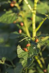 Potato Bug Caterpillars