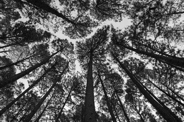 Pine forest black and white background.