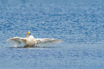 Single swan wings open in water