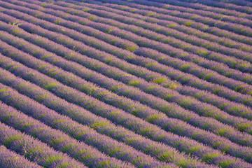 Lavender Field, Provence-Alpes-Cote d'Azur, France, RF
