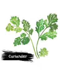 Watercolor green coriander isolated on white.