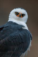 Retrato de un águila viuda (Spizaetus melanoleucus)