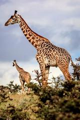 A herd of giraffes in the African savannah .